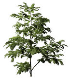 Albizzia tree Stock Image