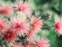 Albizzia weich blaß - rosa Blumenmakroschuß Lizenzfreies Stockfoto