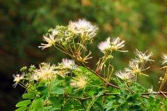 Albizziakalkora, of julibrissin (Perzische zijdeboom) bloemen Royalty-vrije Stock Foto's