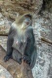Albogularis do Cercopithecus do macaco de Ykes, close-up na floresta Zanzibar foto de stock