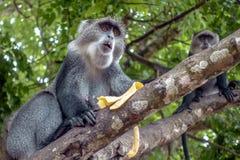 Albogularis do Cercopithecus do macaco de Ykes, close-up na floresta Zanzibar imagens de stock royalty free