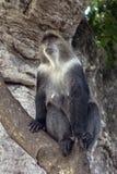 Albogularis do Cercopithecus do macaco de Ykes, close-up na floresta Zanzibar fotos de stock royalty free