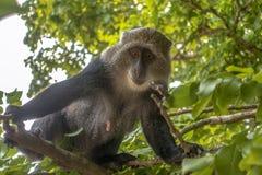 Albogularis do Cercopithecus do macaco de Ykes, close-up na floresta Zanzibar imagem de stock royalty free