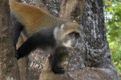Albogularis do Cercopithecus do macaco de Ykes, close-up na floresta Zanzibar fotografia de stock