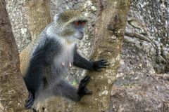 Albogularis do Cercopithecus do macaco de Ykes, close-up na floresta Zanzibar imagem de stock