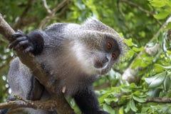 Albogularis do Cercopithecus do macaco de Ykes, close-up na floresta Zanzibar fotos de stock