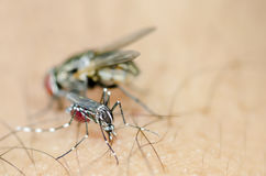 Albopictus mosquito sucking blood behind flies Stock Photography