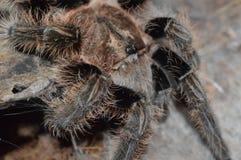 Albopilosum di Brachypelma Fotografia Stock