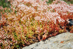 ALBUM DE SEDUM Photo stock