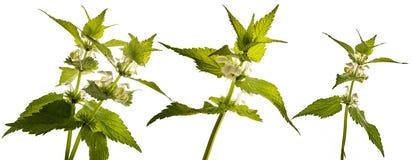 Album di Herb Lamium - morto-ortica bianca dell'ortica bianca fotografie stock