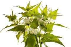 Album di Herb Lamium - morto-ortica bianca dell'ortica bianca immagine stock libera da diritti