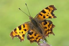 albumowy motyla c przecinku polygonia Obrazy Royalty Free