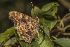 albumowy motyla c przecinku polygonia Zdjęcie Royalty Free