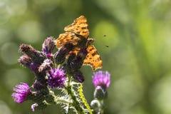 albumowy motyla c przecinku polygonia Fotografia Stock
