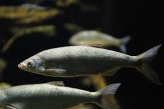 Alburnus chalcoides underwater, Bley chalcoides swimming underwater