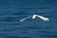 albus极大casmerodus的白鹭 库存照片