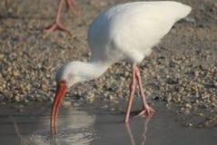 Albus bianco americano di Eudocimus dell'ibis Fotografia Stock