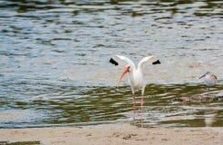 Albus bianco americano di Eudocimus dell'ibis e il semipalmata del Tringa di Willet alla riserva acquatica della baia del limone  Fotografia Stock Libera da Diritti