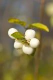 Albus del Symphoricarpos de la baya del otoño Fotos de archivo