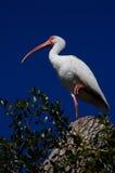 albus eudocimus IBIS白色 库存图片
