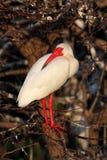 albus eudocimus ibisa biel Zdjęcia Stock