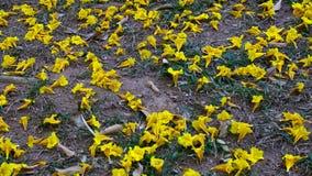 Albus Handroanthus цветет покрывающ землю Стоковая Фотография