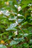 Albus Symphoricarpos вид цветкового растения в хоне стоковое изображение rf