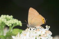alby motyli modraszka listu satyrium w biel Zdjęcie Royalty Free