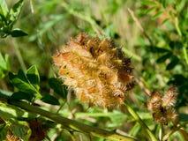 Alcaçuz (glabra do Glycyrrhiza) Imagem de Stock