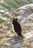 Alca torda Razorbill.JH. Razorbill sitting on a limestone rock at karlso island outside gotland in Sweden.JH royalty free stock photography