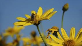 Alcachofa de Jerusalén con la abeja contra el cielo Fotos de archivo