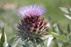 Alcachofa en la floración Foto de archivo libre de regalías