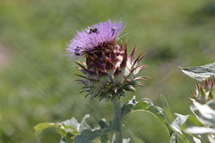 Alcachofa en la floración imagenes de archivo