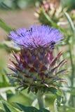 Alcachofa en la floración en el jardín Imagen de archivo