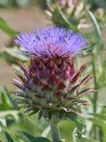 Alcachofa en la floración en el jardín Fotos de archivo libres de regalías
