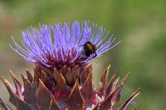 Alcachofa en la floración en el jardín Foto de archivo libre de regalías