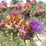 Alcachofas en la floración Imagen de archivo libre de regalías