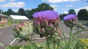 Alcachofas florecientes púrpuras hermosas Imagen de archivo