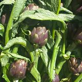 Alcachofas frescas en el mercado Foto de archivo libre de regalías