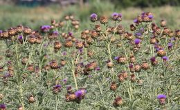 Alcachofas púrpuras listas para ser cosechado Imagen de archivo libre de regalías