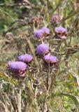 Alcachofas púrpuras listas para ser cosechado y para ser vendido al vegetabl Imagen de archivo libre de regalías