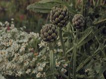 Alcachofas que crecen entre margaritas del verano en una asignación rural del campo durante las horas de igualación almacen de metraje de vídeo