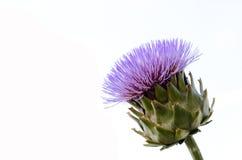 Alcachofra de florescência imagens de stock