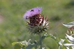Alcachofra na flor imagens de stock