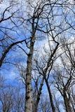 Alcançando os ramos ascendentes torcem no céu imagem de stock royalty free