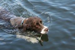 Alcance acuático del perro de aguas Imagen de archivo libre de regalías