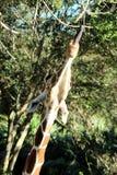 Alcances hambrientos de la jirafa para la hoja Fotos de archivo