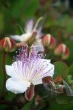 Alcaparra de la flor imagenes de archivo