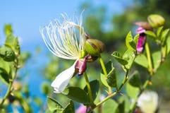 Alcaparra floreciente del arbusto en la costa de Crimea imagenes de archivo