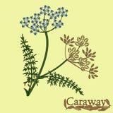 Alcaravea, hinojo meridiano, comino persa Ejemplo de una planta ilustración del vector